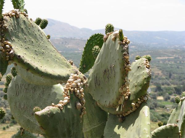 Escargots sur cactus