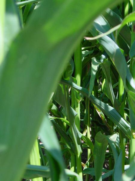 Eckbolsheim maïs