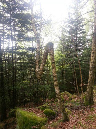 L'arbre indécis