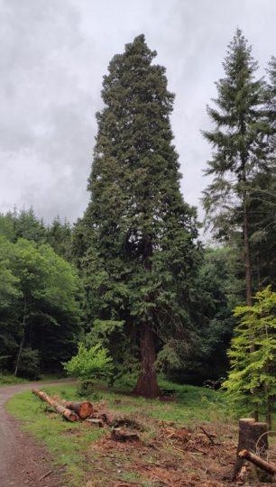 Le grand Sequoia