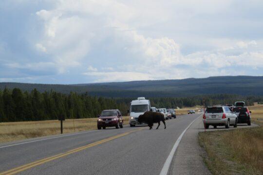 Passage de bison
