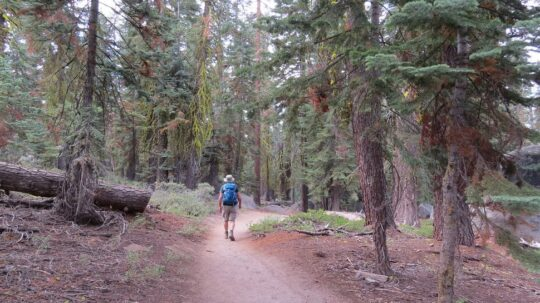 Forêt de pins tordus