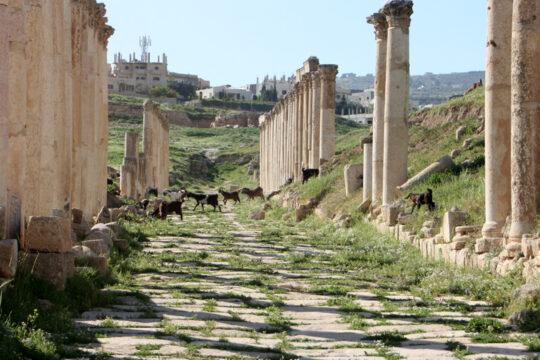Des chèvres dans le decamanus de Gerasa